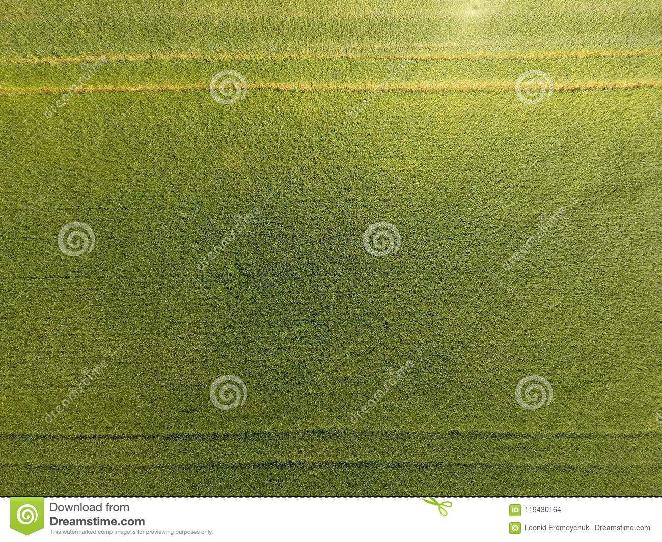 Green Wheat In The Field Top View With A Drone Texture Of Background