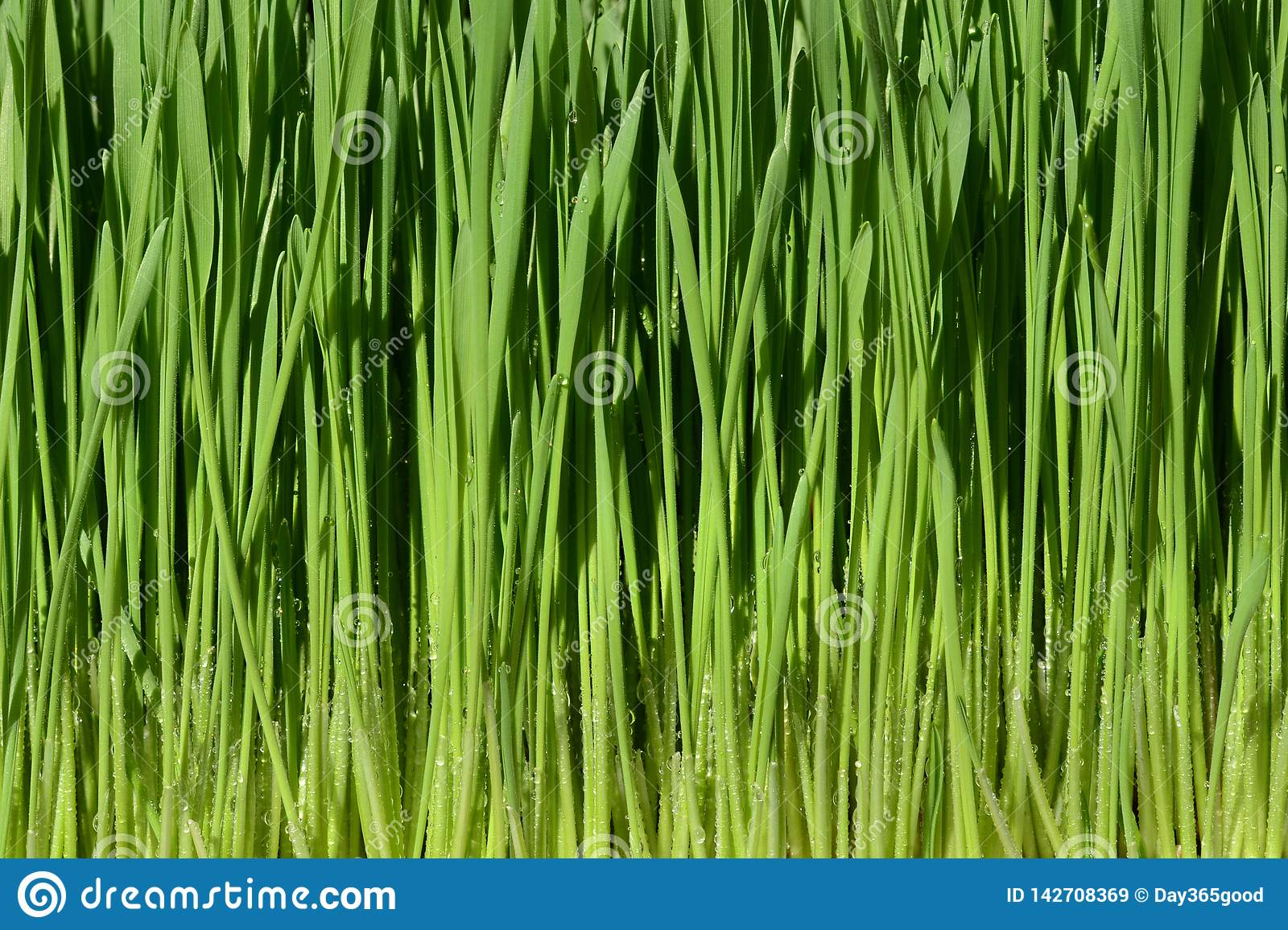 Green wheat grass with water drops