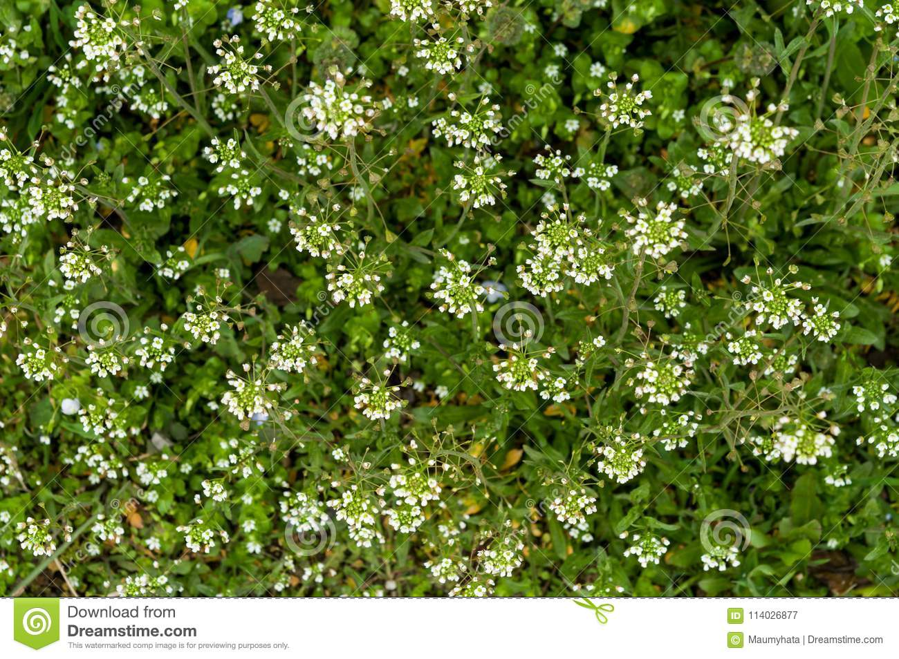 Green white flower weed grass shepherds purse stock image image of download comp mightylinksfo
