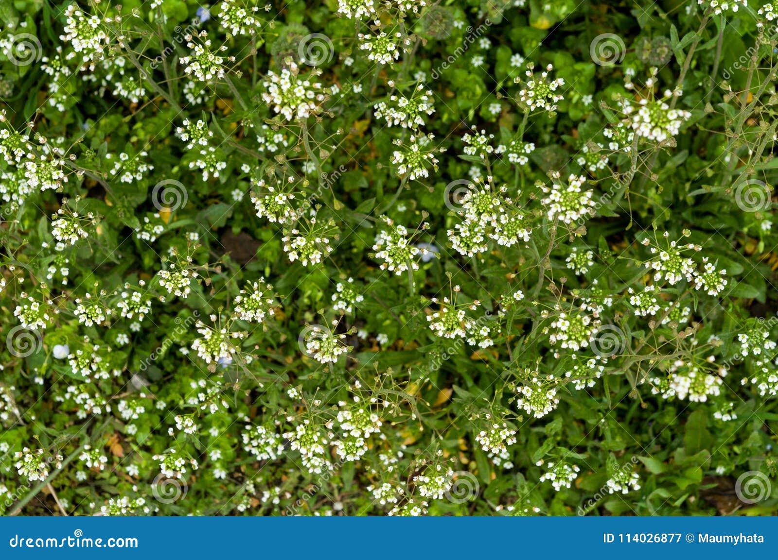 Green white flower weed grass shepherds purse stock image image of green white flower weed grass shepherds purse mightylinksfo