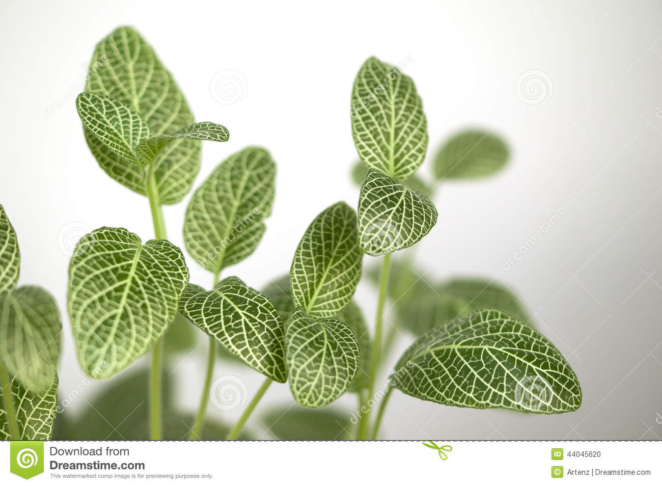 Green And White Leaf Houseplant Stock Photo Image 44045620