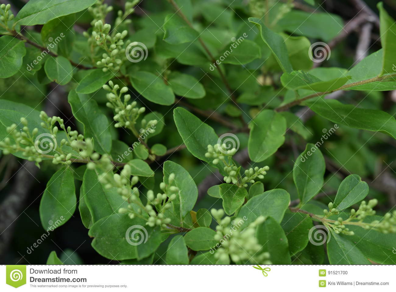 Green wild bush plant NC