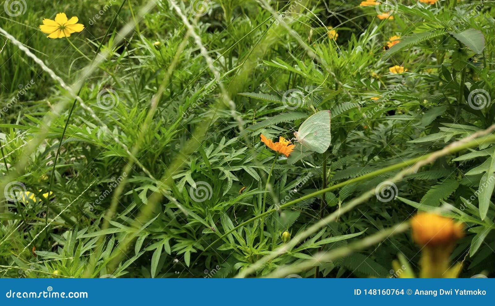 Green wild butterflies perched on orange flowers
