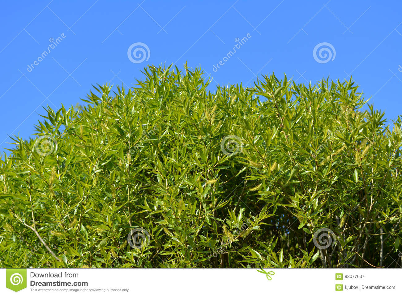 Green willow foliage against blue sky. Branches with young leaves