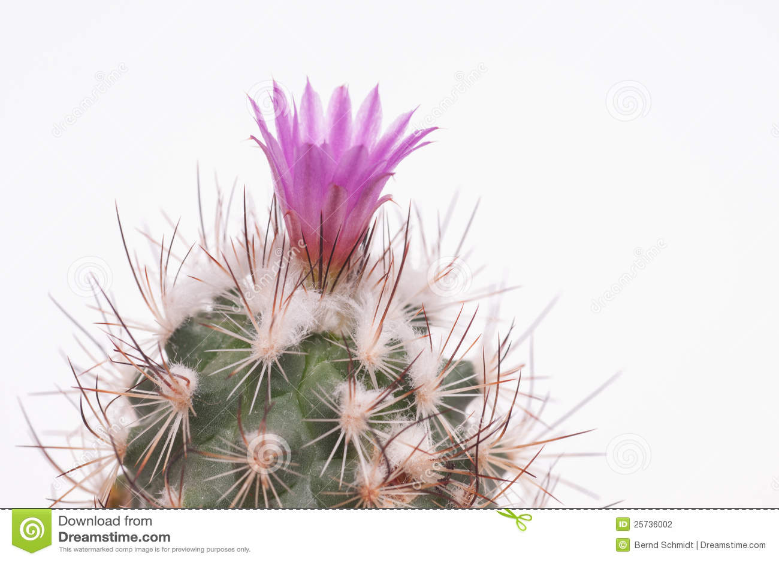 Green woolen cactus with violet flower