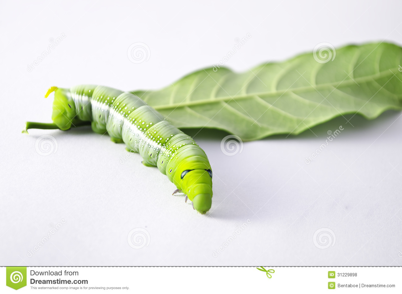 green inch worm royalty free stock images image 825989