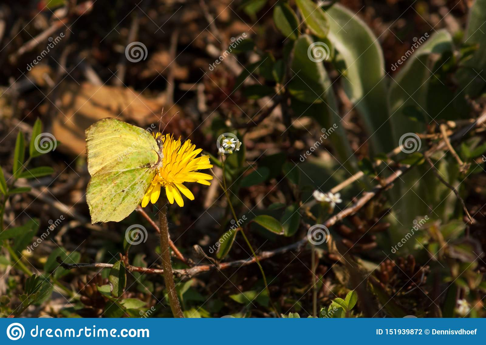 Green/yellow butterfly on a yellow flower.