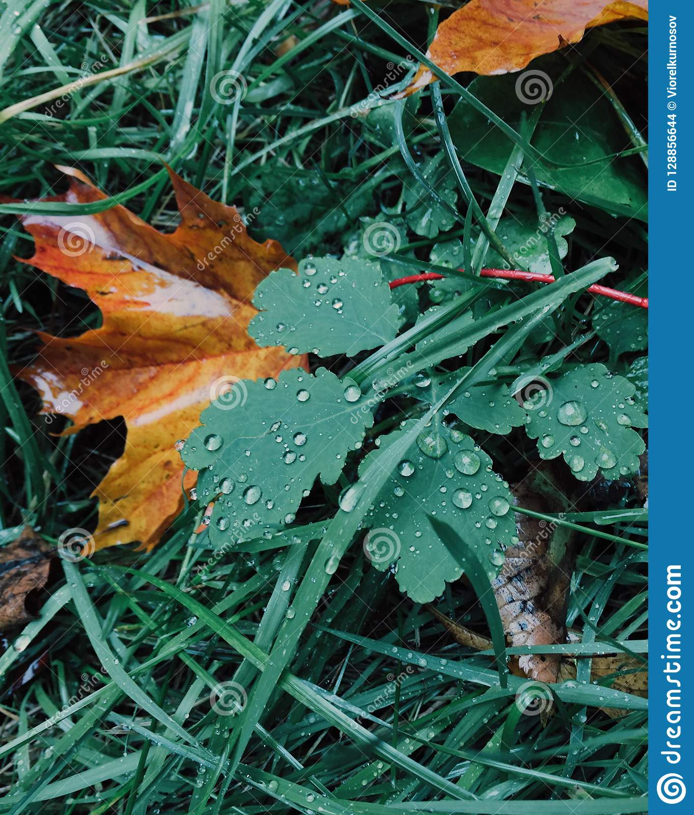 Green and yellow colours. Autumn leaves on green grass with dew. October time. Vertical shot. Beautiful season. Nature concept