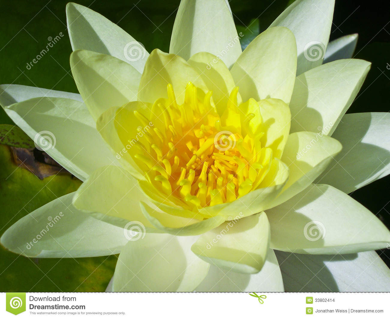 Green And Yellow Lily Pad Flower Stock Photo Image Of Beautiful