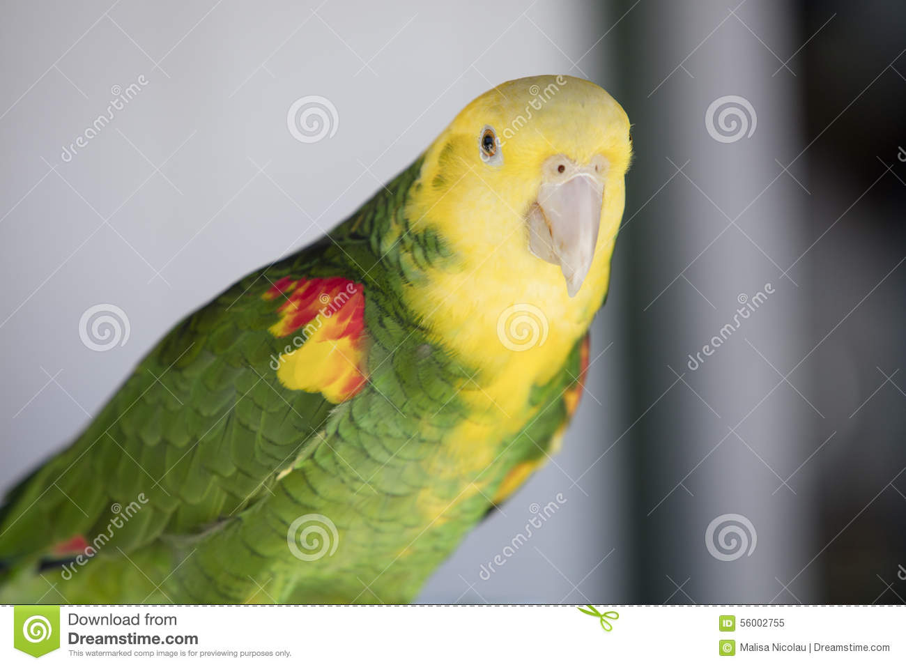 green and yellow parrot at a community gathering stock image image