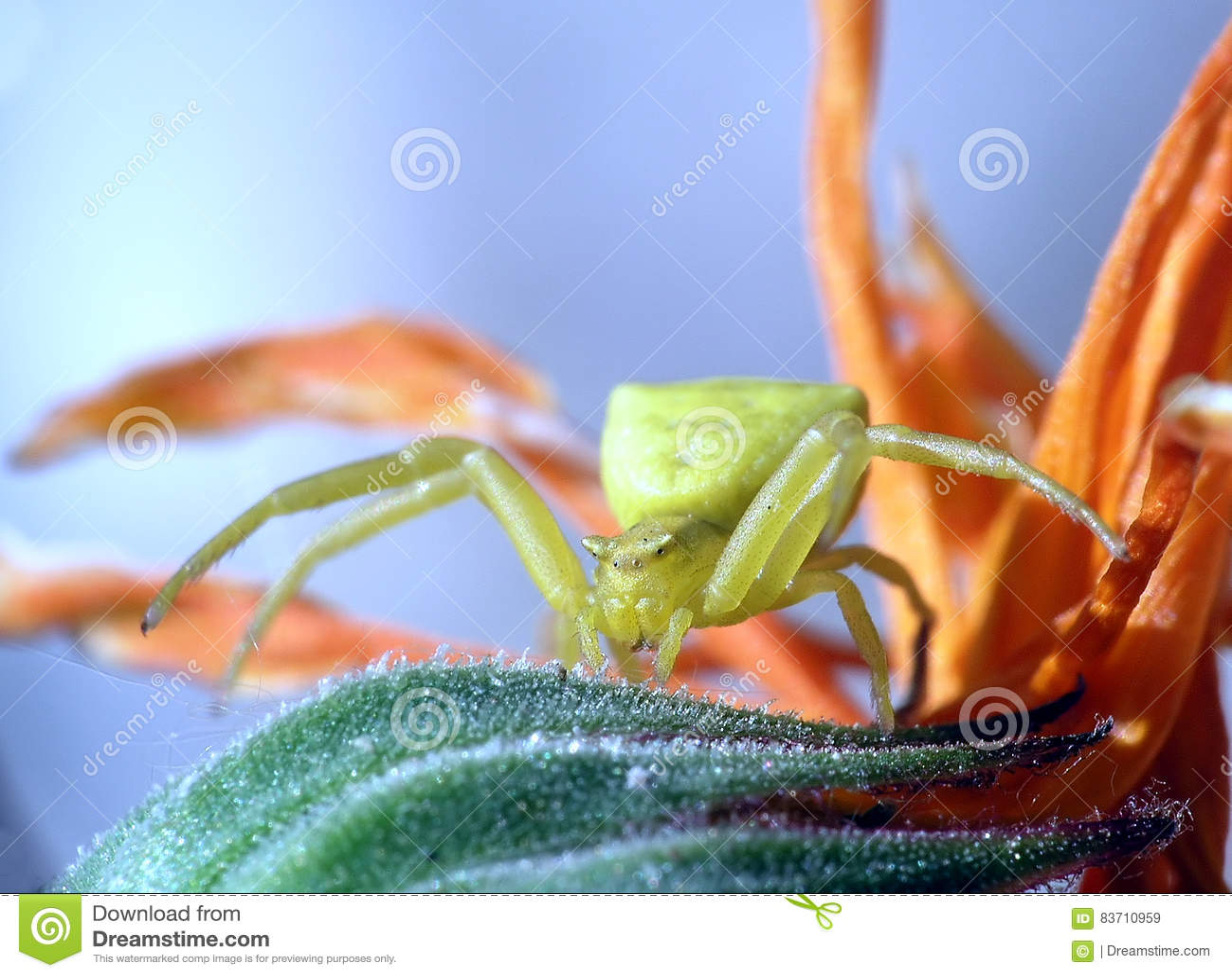 Green Yellow Spider Stock Photo