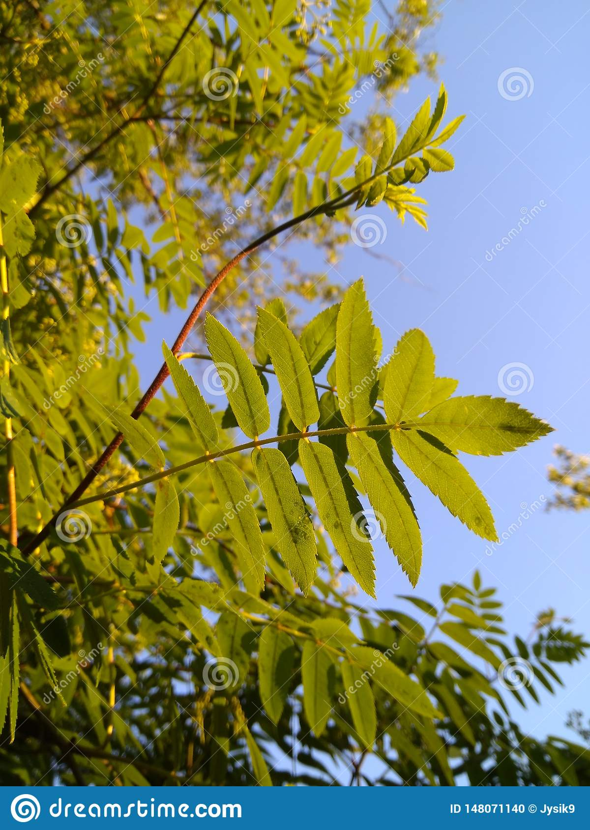 Green young leaves of mountain ash on the background of the blue sky in the rays of sunlight