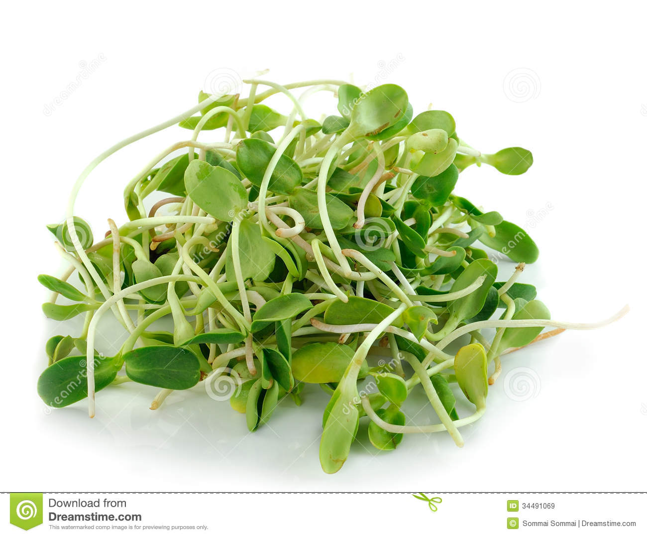 Green Young Sunflower Sprouts On White Background Royalty Free ...