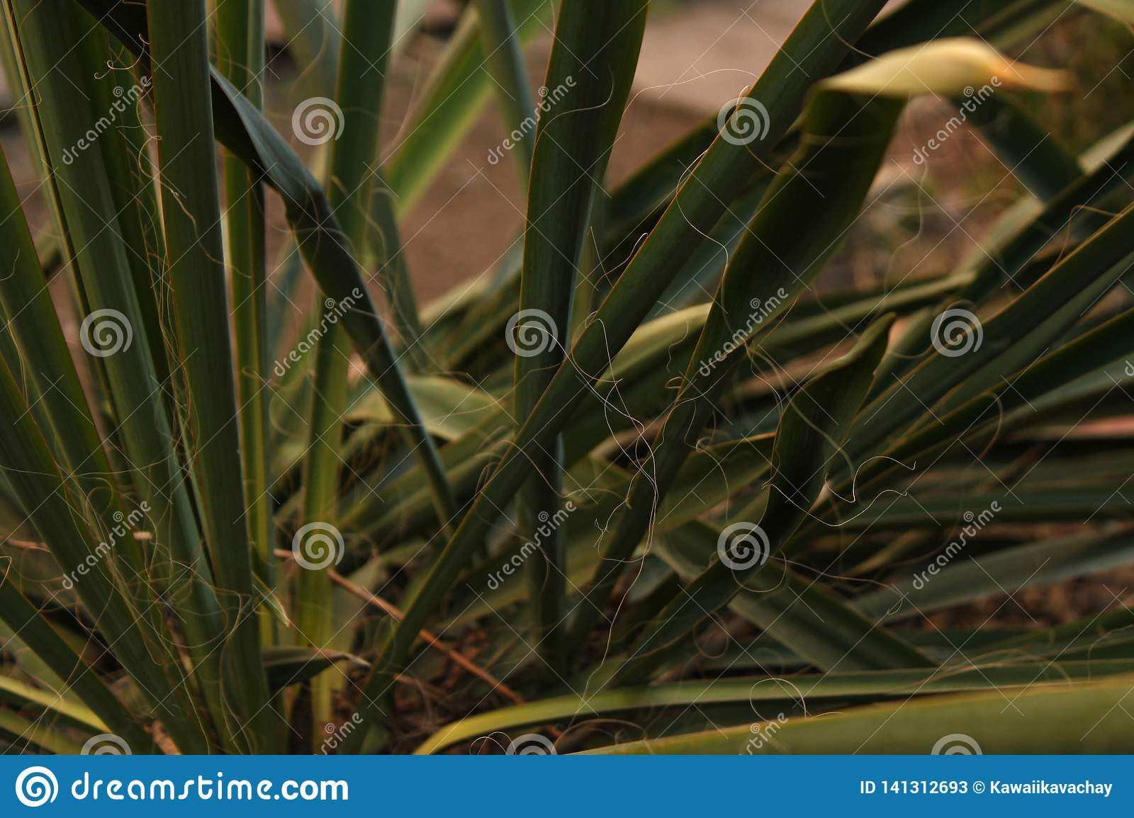 Green Yucca plant leaves grows on a bed in the yard