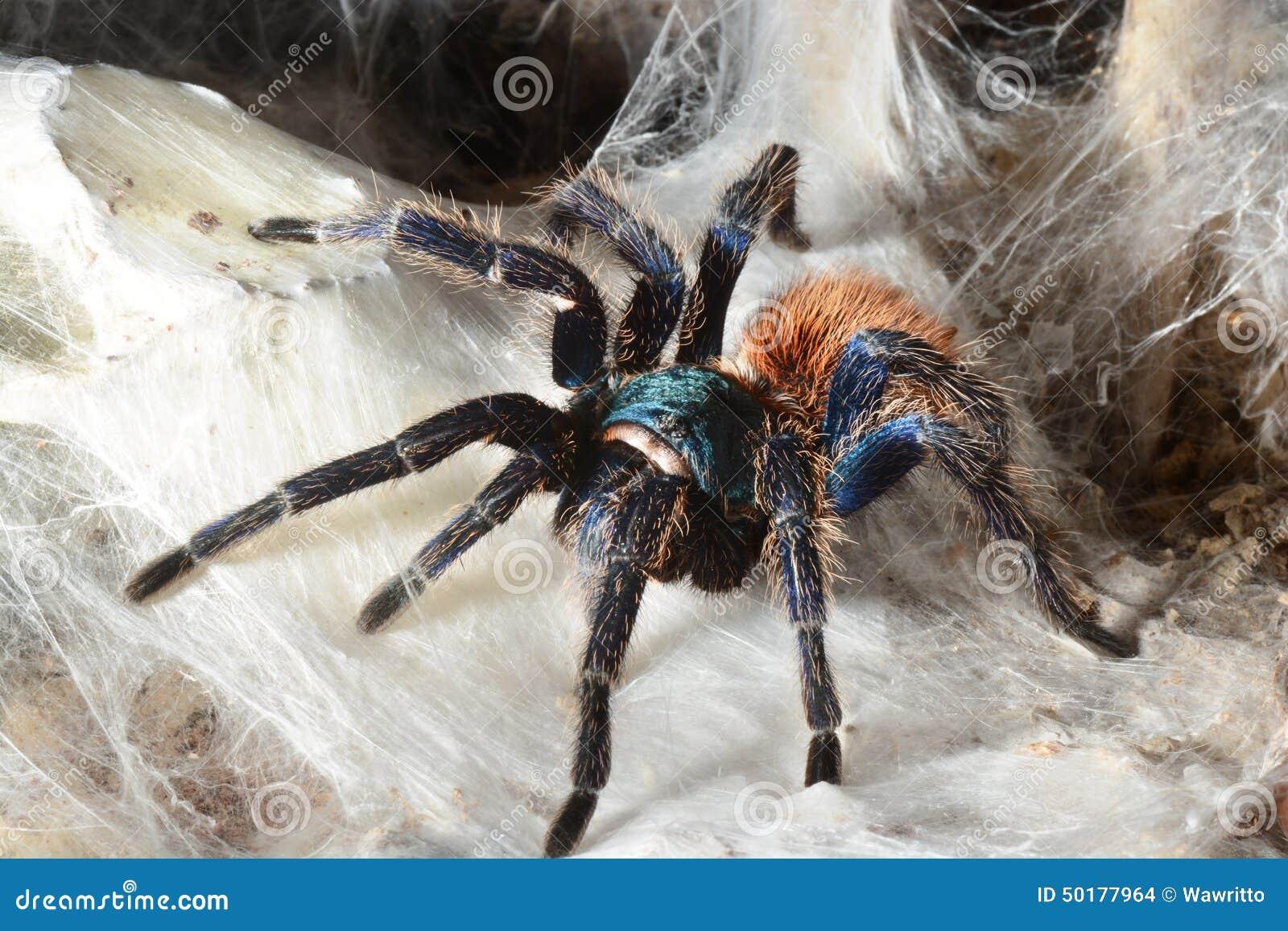 Greenbottle Tarantula (Chromatopelma Cyaneopubescens ...