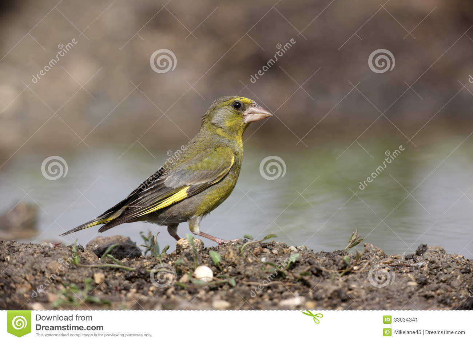 Greenfinch Carduelischloris