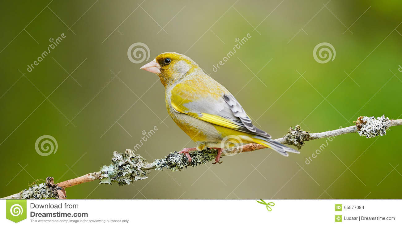 Greenfinch masculino bonito