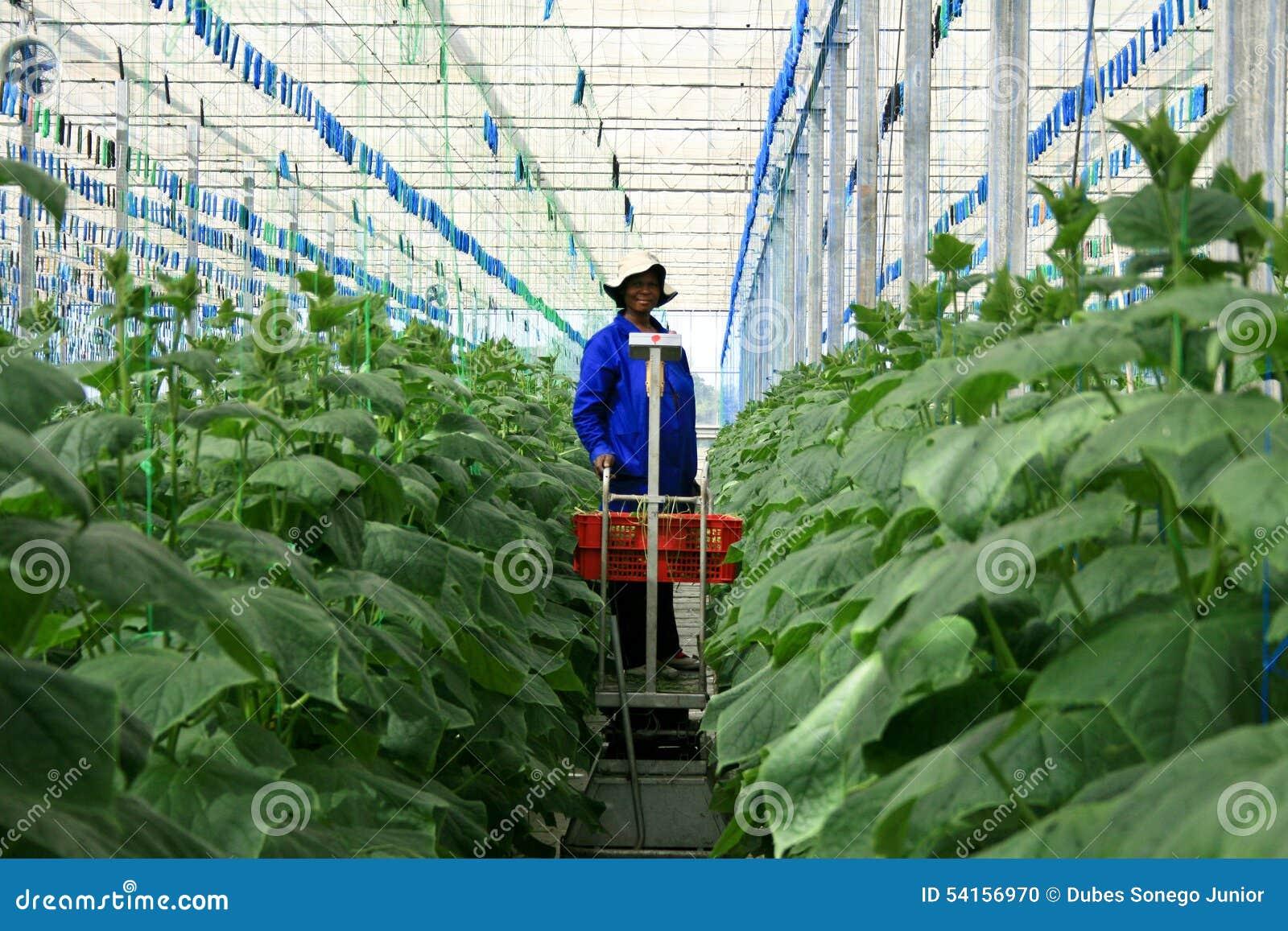 Greenhouse cucumber plantation