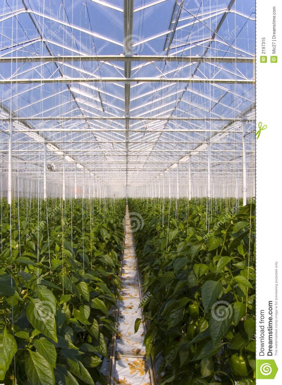 Greenhouse pepper plants stock image. Image of enclosed ...
