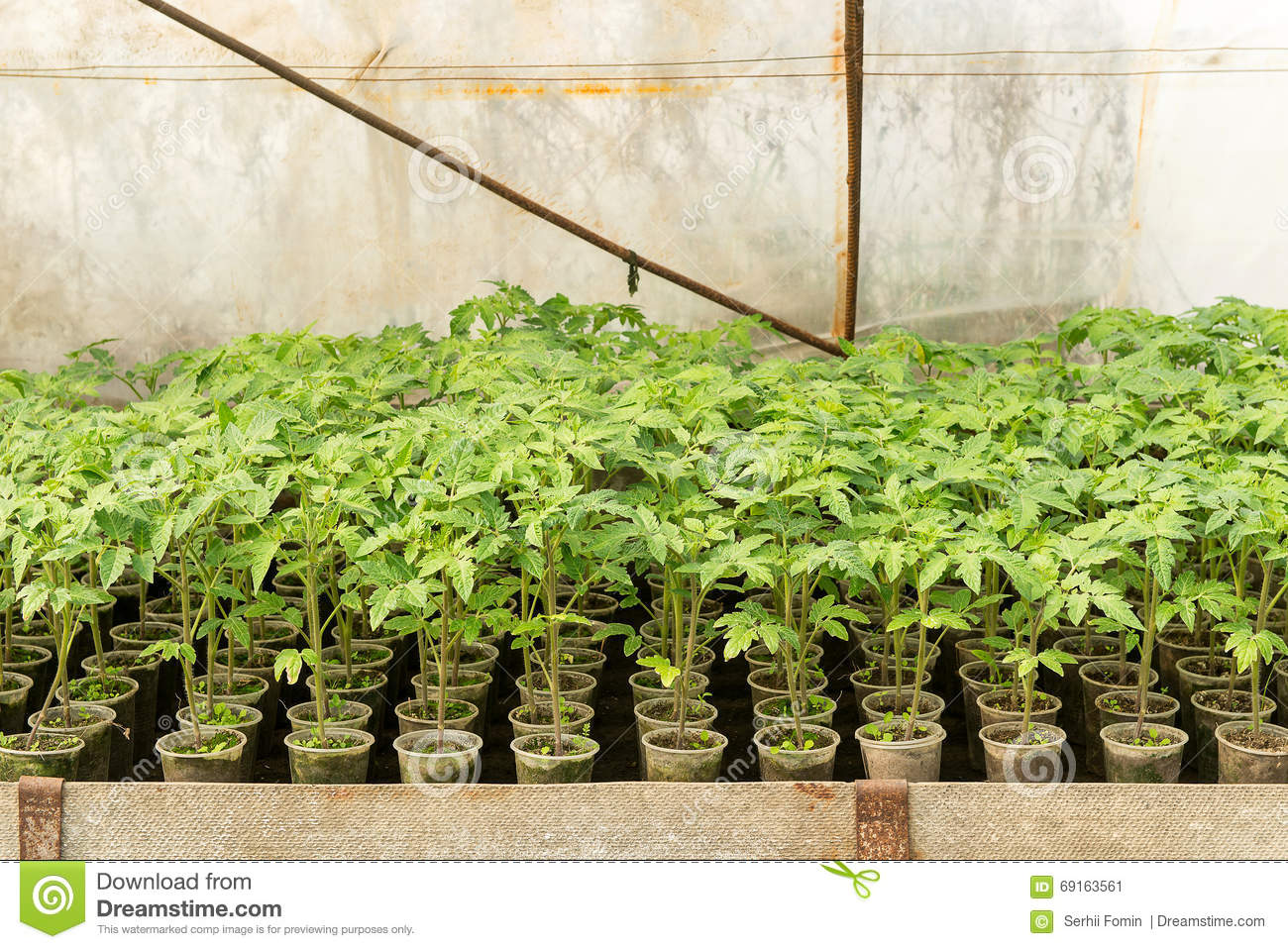 greenhouse plants, drip irrigation, greenhouse cultivation of tomatoes in agricultu