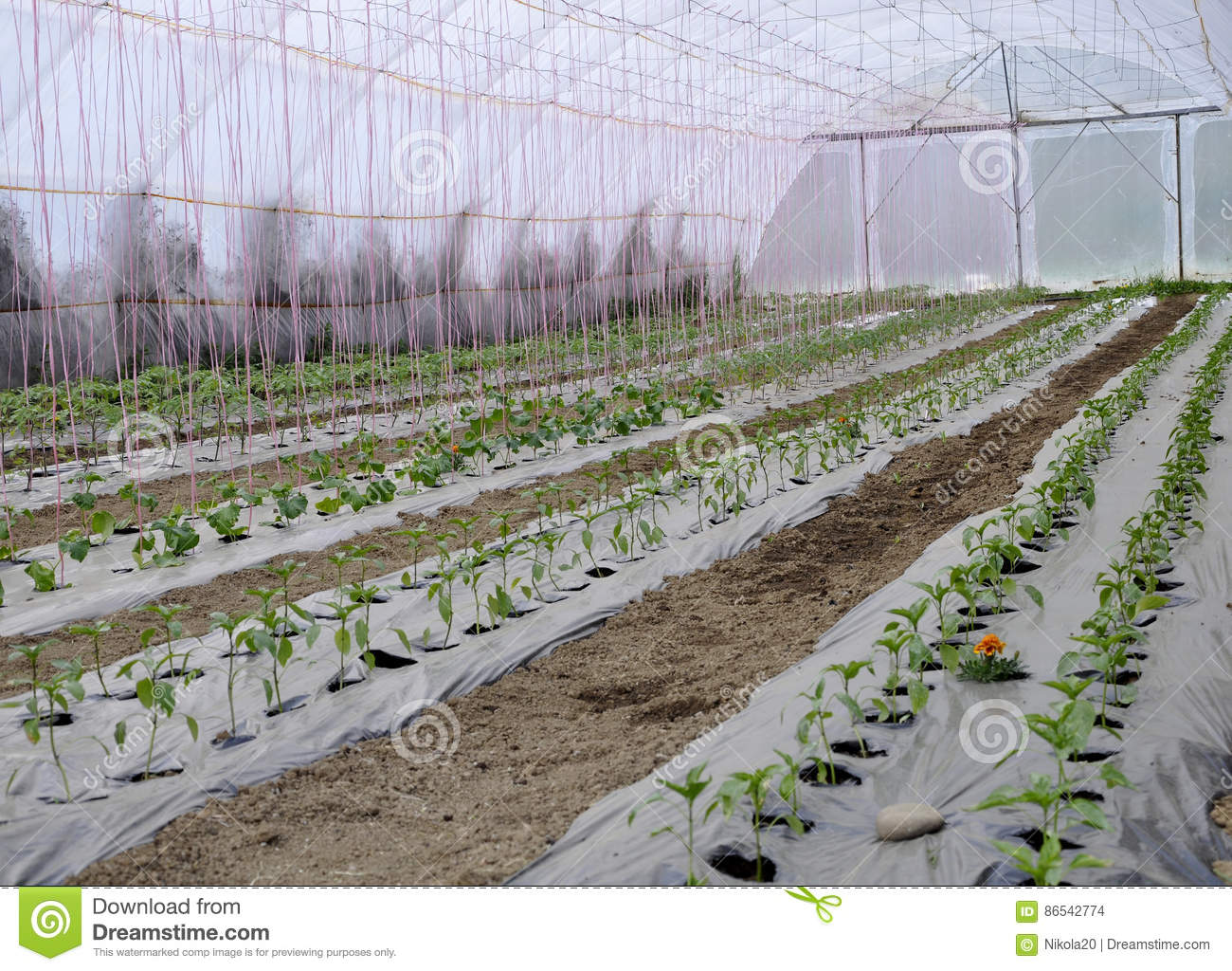 Greenhouse with plastic film which raised early tomatoes peppers and other vegetables seedlings