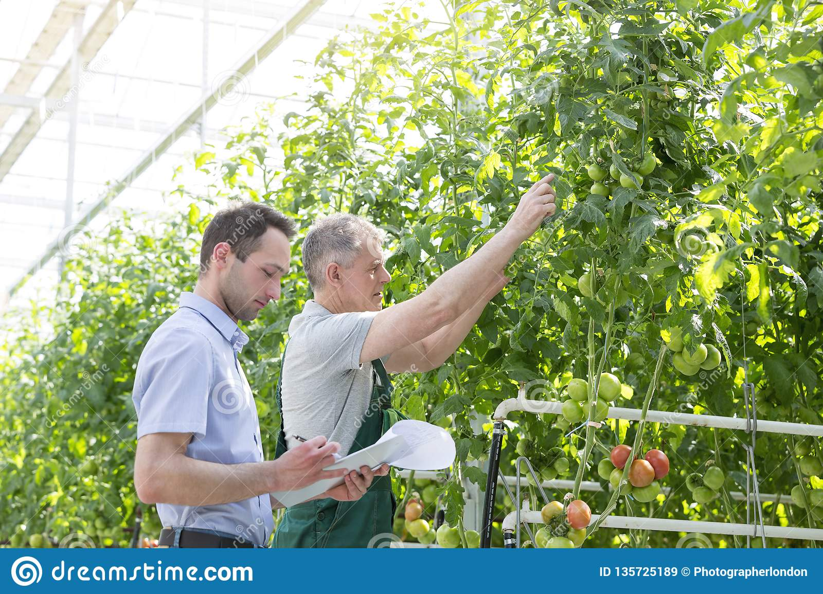 Supervisor making report while farmer showing tomatoes in greenhouse