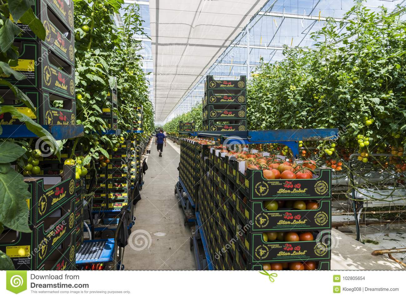Greenhouse Workers Tomato Harmelen