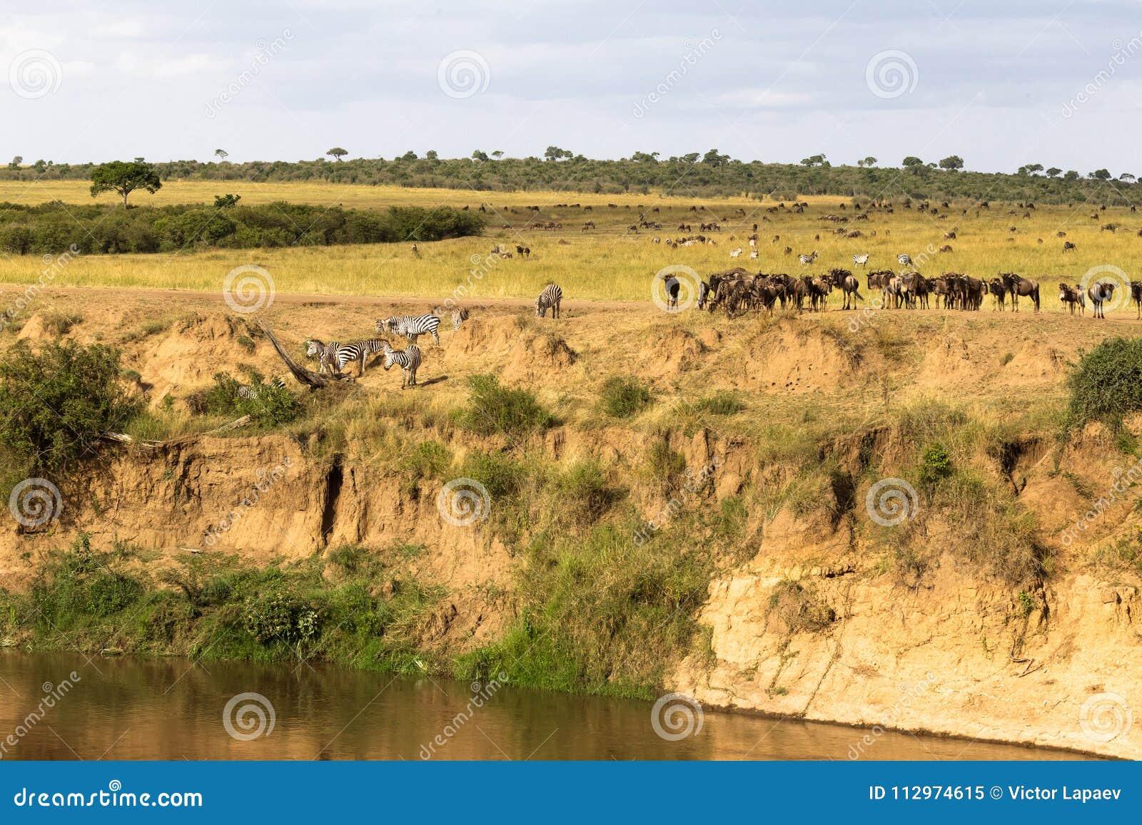 Gregge degli erbivori sul precipizio Masai Mara, Kenia