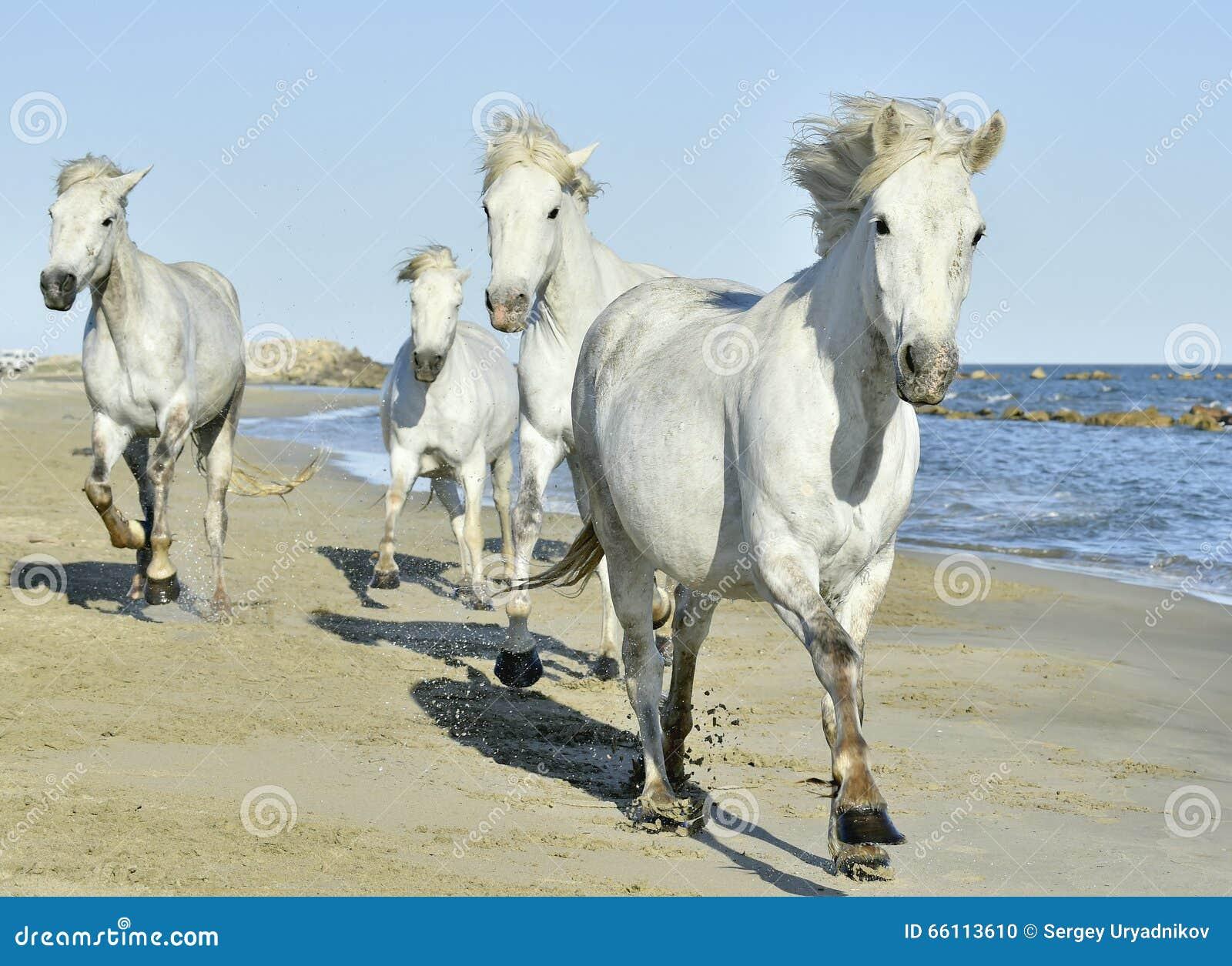 Popolare Gregge Dei Cavalli Bianchi Di Camargue Che Corrono Sulla Spiaggia  KV38