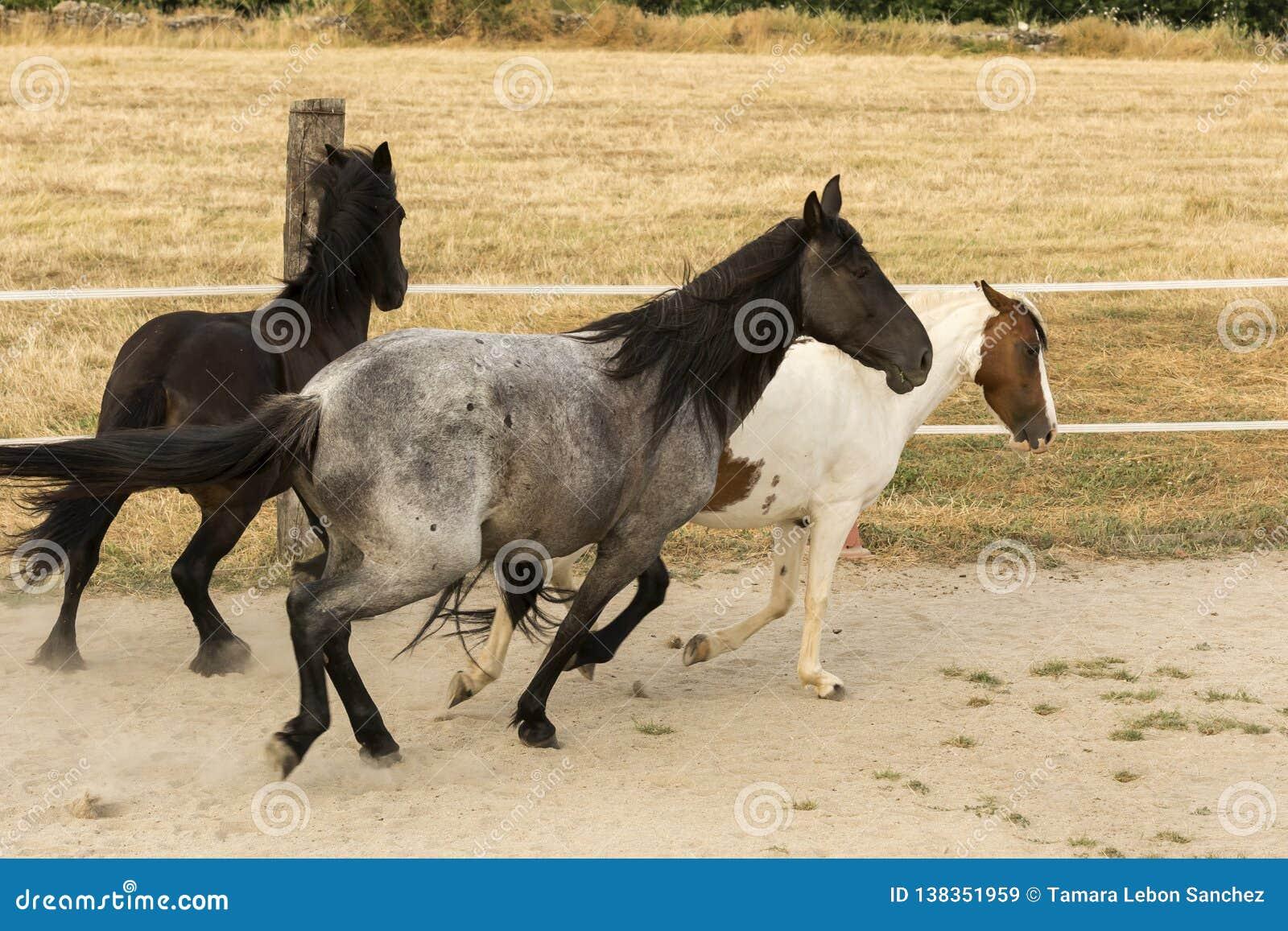 Gregge dei cavalli che galoppano nella sabbia