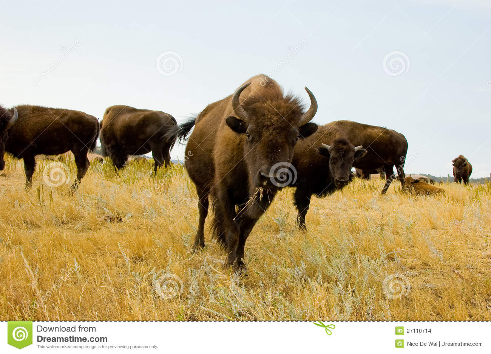 Gregge del bisonte o del bufalo