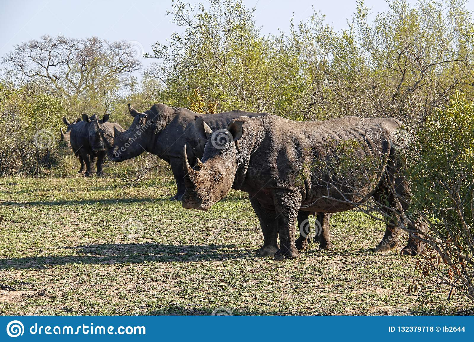 Gregge del rinoceronte bianco nel cespuglio africano