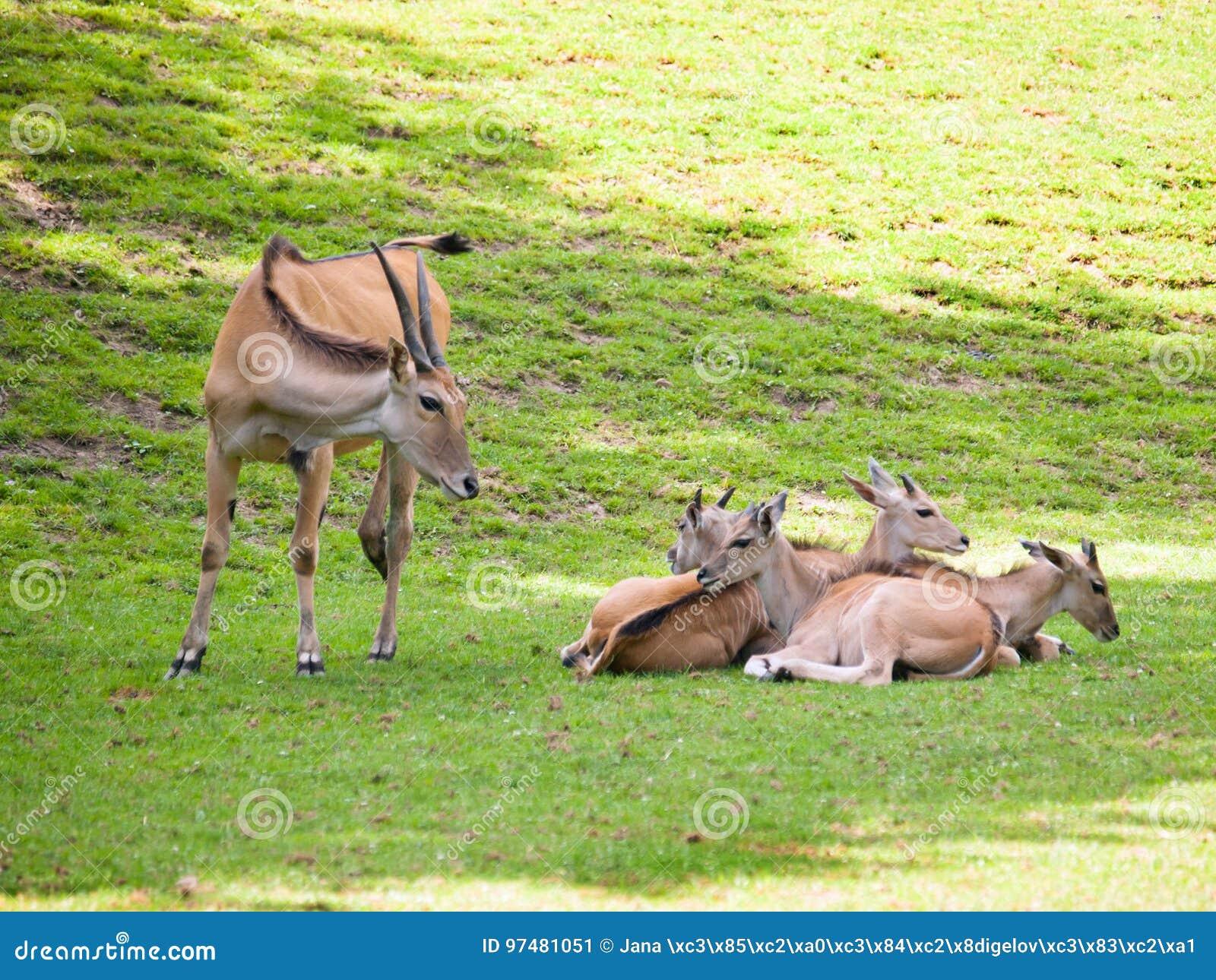 Gregge dell eland comune sul pascolo - orice del Taurotragus