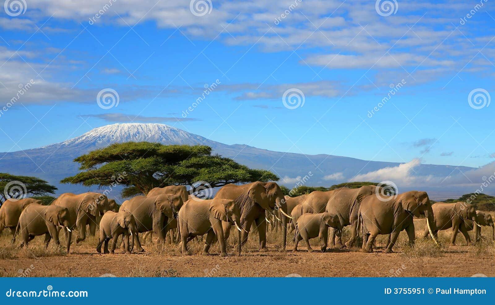 Gregge dell elefante africano