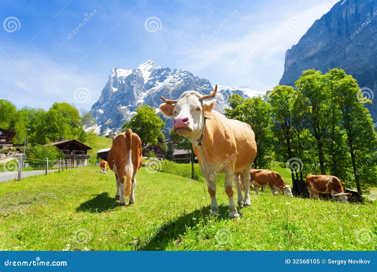 Gregge delle mucche