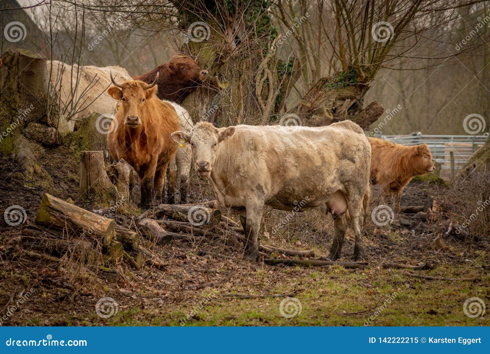 Gregge delle mucche marroni che esaminano la macchina fotografica
