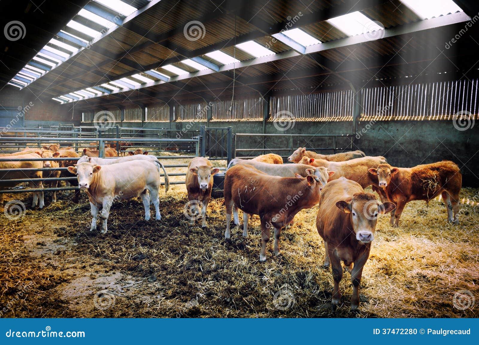 Gregge delle mucche in stalla