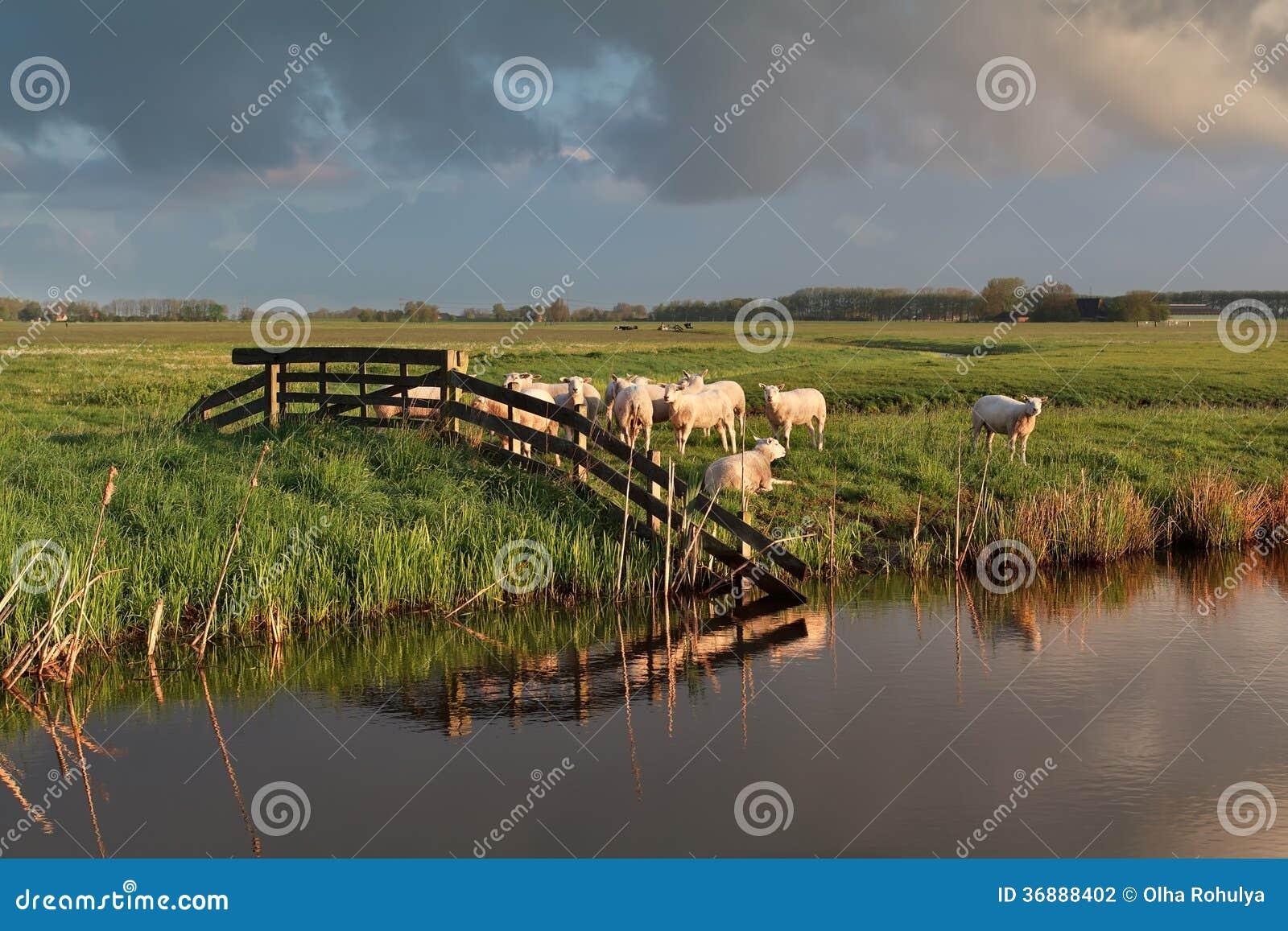Download Gregge Delle Pecore Sul Pascolo Dal Fiume Fotografia Stock - Immagine di stagione, rurale: 36888402