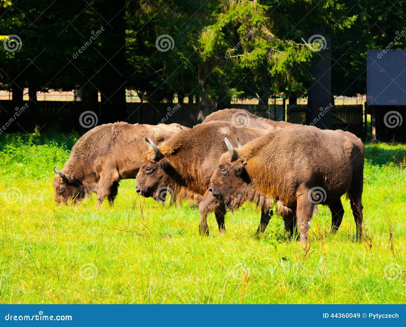 Gregge di legno europeo del bisonte
