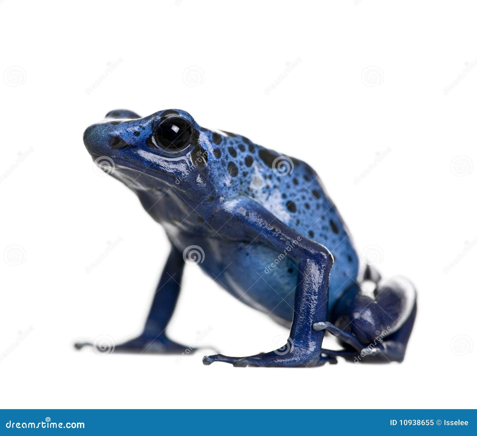 Grenouille bleue de dard de poison sur le fond blanc