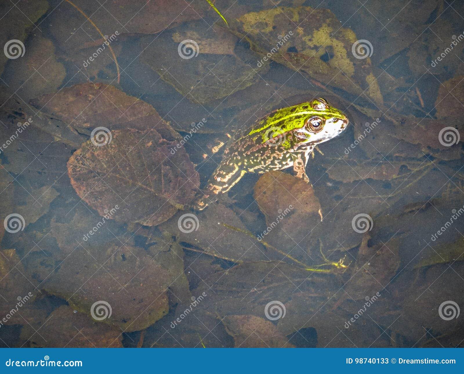 Grenouille dans l eau