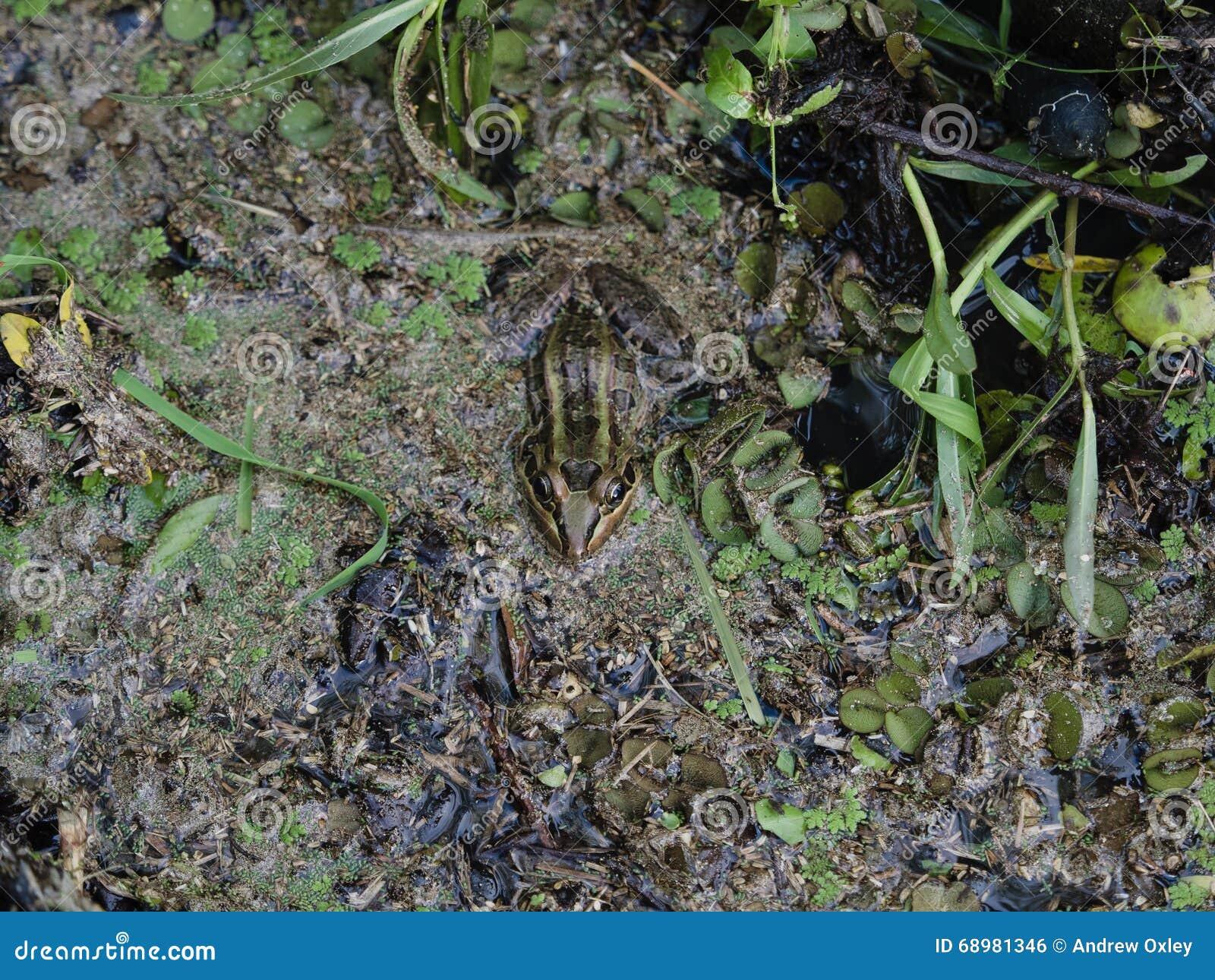 Grenouille dans un étang