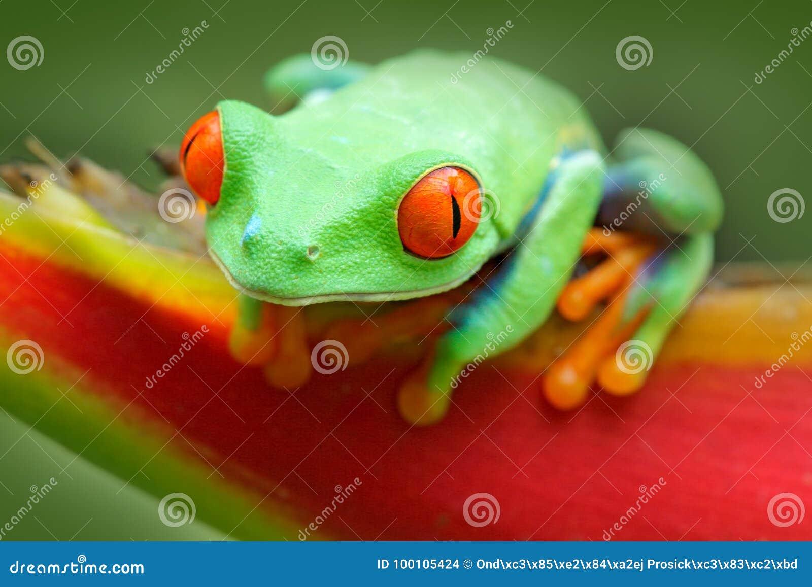 Grenouille Costa Rica grenouille de costa rica belle grenouille dans la forêt, animal