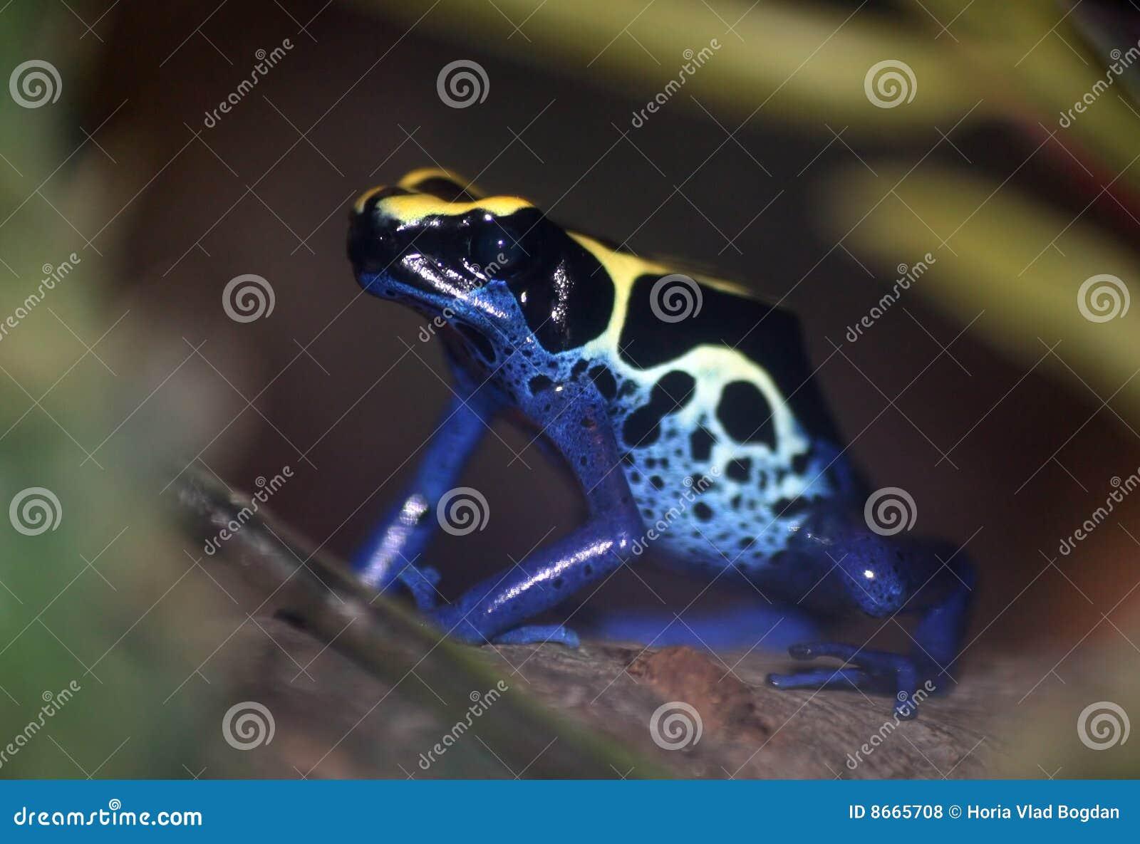 Grenouille de dard de poison - tinctorius de Dendrobates