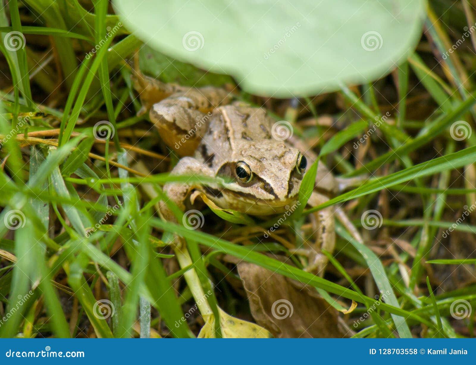 Grenouille entre l herbe