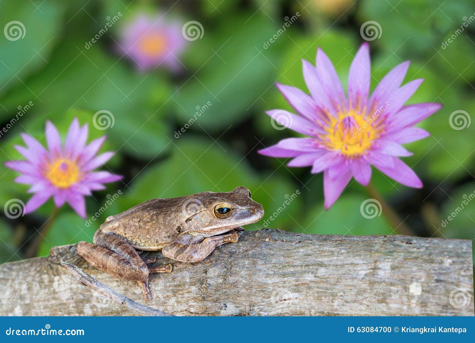 Download Grenouille, Leucomystax De Polypedates Sur Le Bois De Construction Dans L'étang De Lotus Photo stock - Image du animal, mousse: 63084700