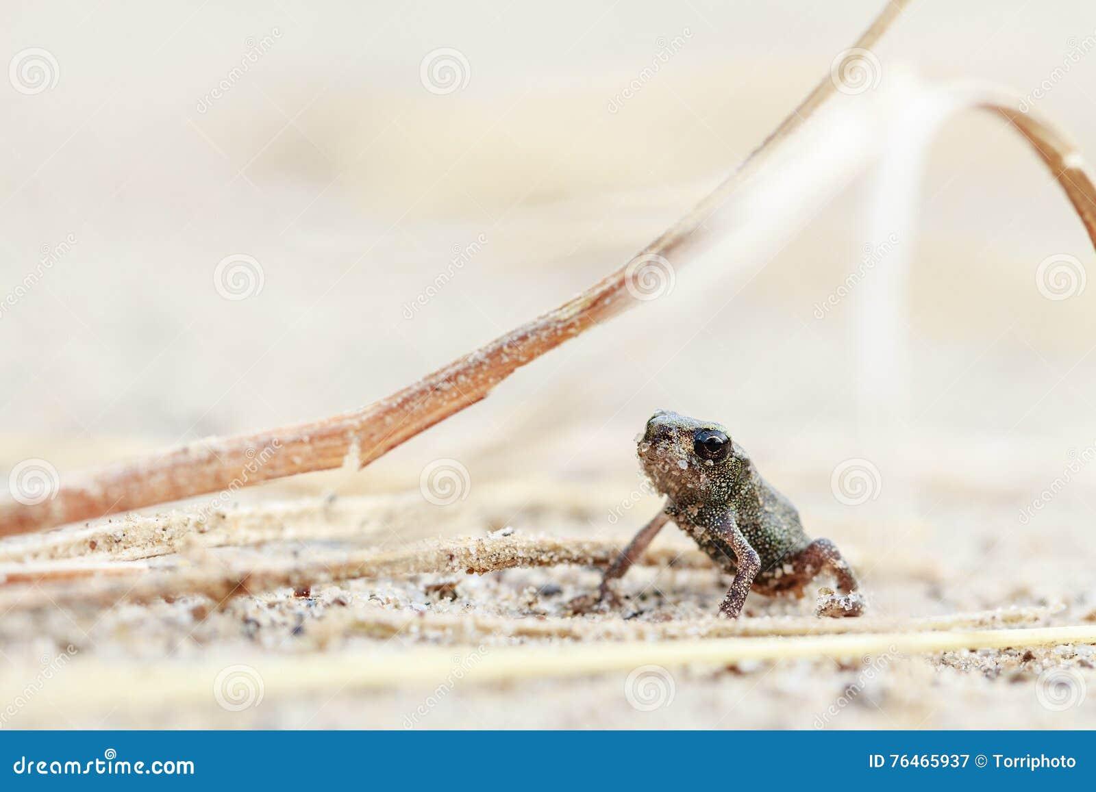 Grenouille minuscule sur le sable