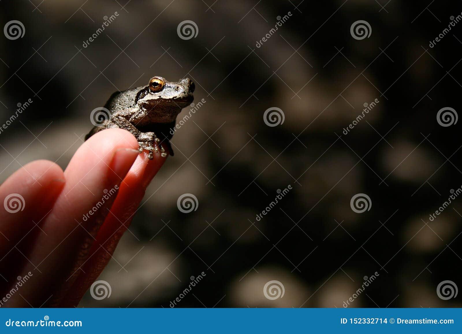 Grenouille sur des bouts du doigt