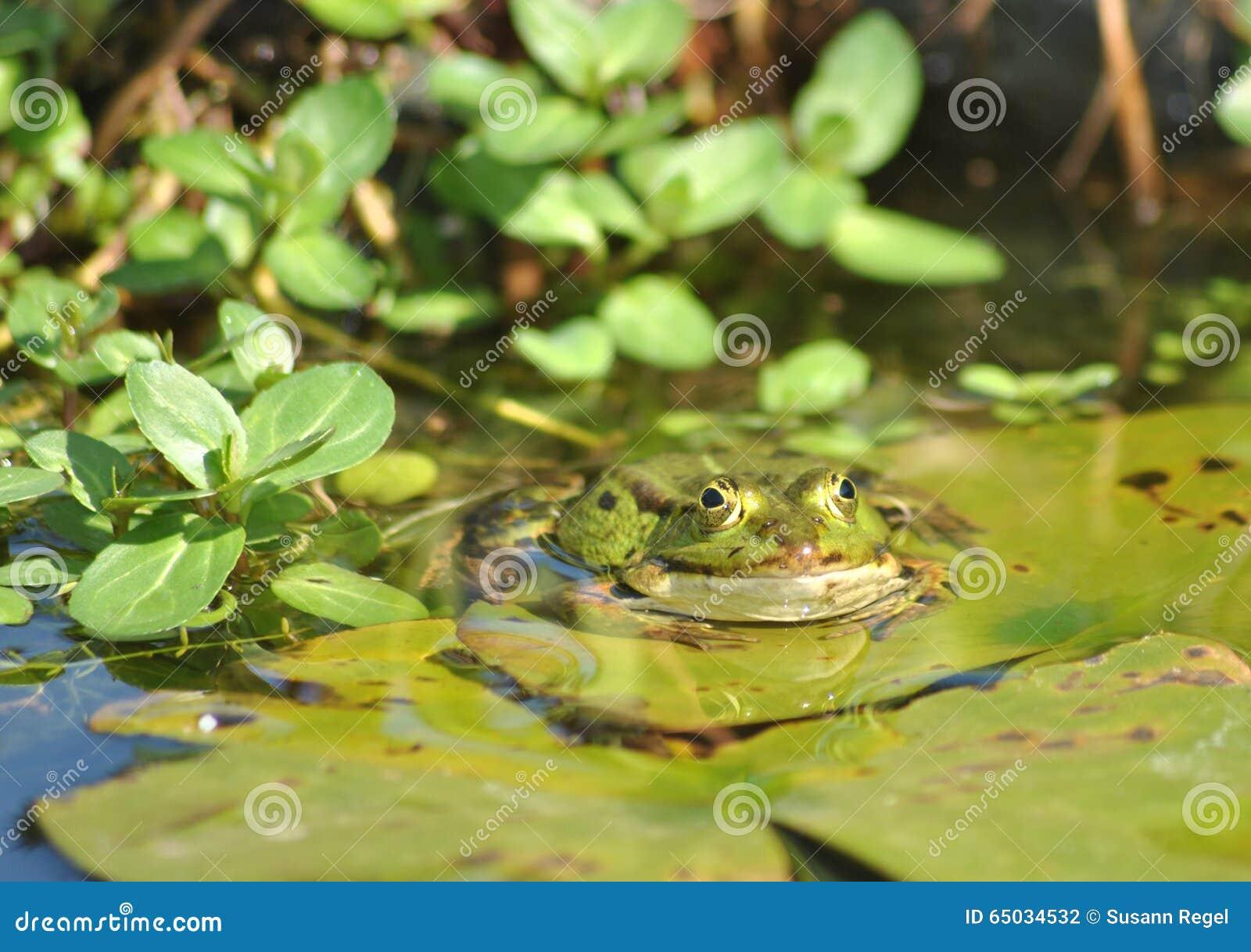 Grenouille verte dans l étang