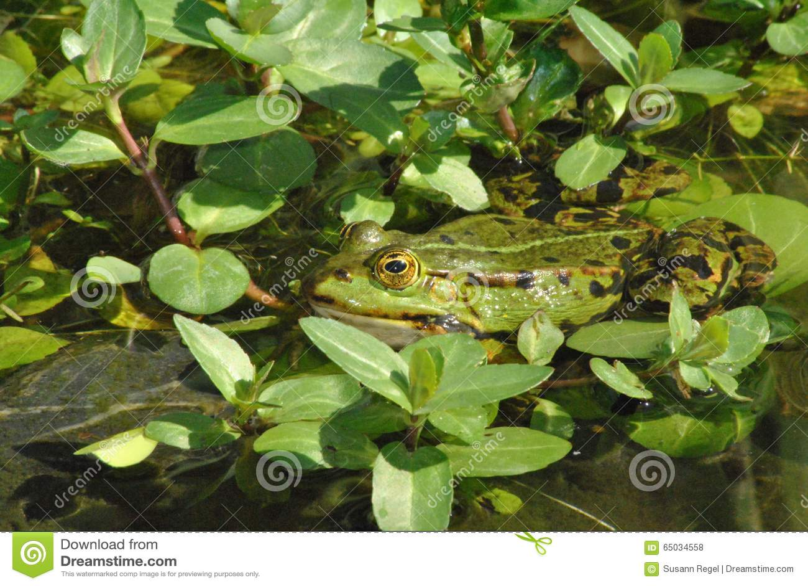 Grenouille verte entre le beccabunga de Veronica